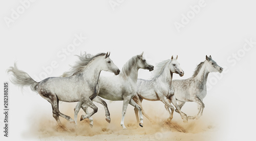 Fototapety, obrazy: Four beautiful arabian horses