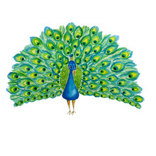 Watercolore Hand Drawn Illustration Peacock On White Background