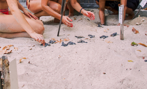 Fototapeta  group of newborn baby sea turtles get out of the sand