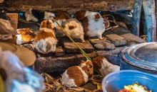 Guinea Pigs In A Peruvian Kitchen