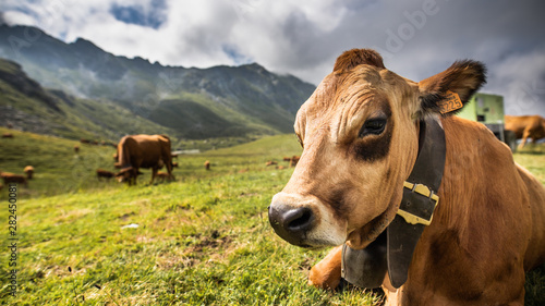 Papiers peints Vache Tarine au repos