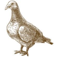 Engraving Antique Illustration Of Dove Bird