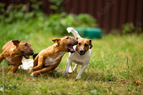 Papel de parede Jack Russell Terriers and mini bull Terriers play