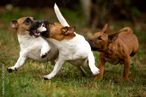 Fotografia Jack Russell Terriers and mini bull Terriers play