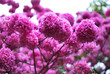 canvas print picture - Close up of beautiful Pink Trumpet Tree , Tabebuia rosea  in full bloom