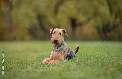 Dog breed Airedale Terrier autumn lies in the grass on the background of the aut Wallpaper Mural
