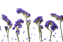 Dry Flowers In Purple Isolated On White Background