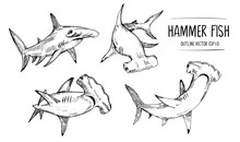 Sketch Of Shark, Hummer Fish. Hand Drawn Illustration Converted To Vector