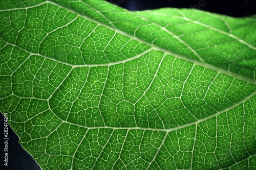 Closeup of portion of green netted veins leaf. Fototapeta