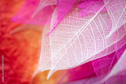 Closeup nature view of transparent skeleton leaf on beautiful color with copy space using as background or wallpaper concept. - 282475683