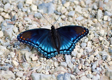 Dorsal View Of A Red-Spotted Purple Admiral Butterfly, Limenits Arthemis