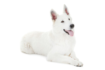 Swiss shepherd dog lying on white background