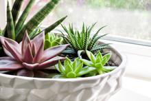 Composition Of Variety Of Succulents (Echeveria Red Taurus, Haworthia Fasciata, Sansevieria Cylindrica) In Ceramic White Flower Pot