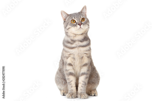 Tablou Canvas Beautiful cat sitting on white background
