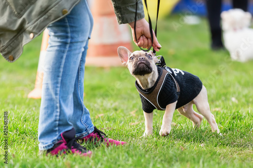 mata magnetyczna woman trains with a french bulldog puppy