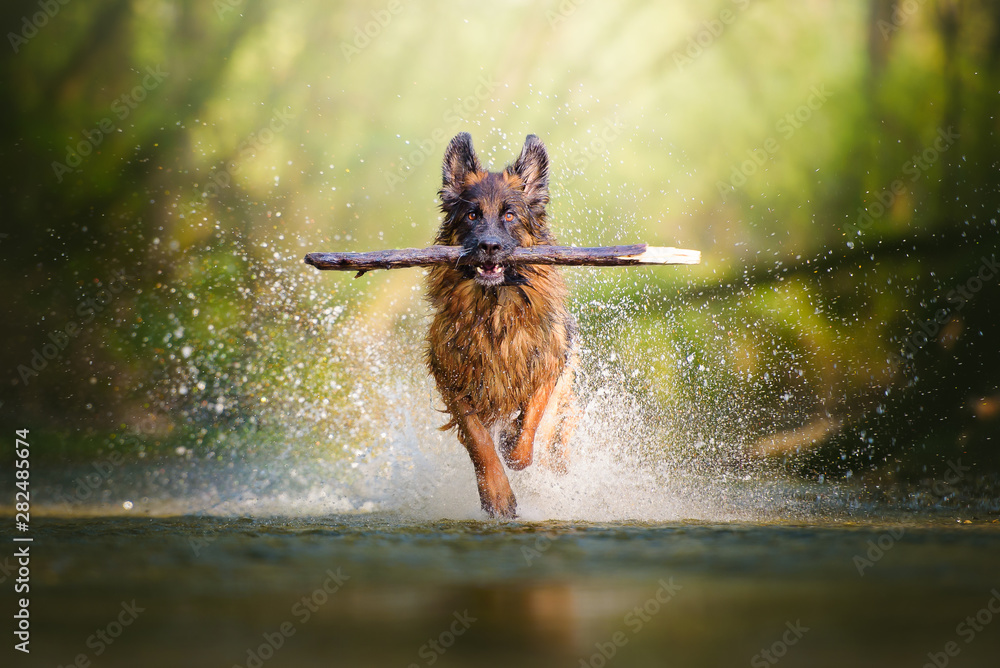 Fotografie, Obraz German shepherd dog with a big branch on her mouth running on the water of a riv