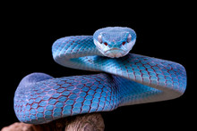 Blue Viper Snake Closeup Face,...