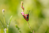 Beilfleck Widderchen Schmetterling Paarung