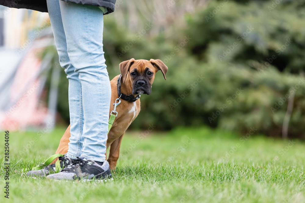 Fototapety, obrazy: woman with a young boxer dog at the puppy school