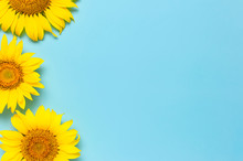 Beautiful Fresh Sunflowers On ...