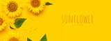 Beautiful fresh sunflowers on bright yellow background. Flat lay, top view, copy space. Autumn or summer Concept, harvest time, agriculture. Sunflower natural background. Flower card