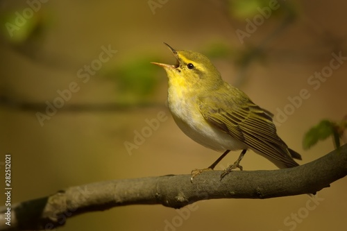 Fotomural Wood Warbler - Phylloscopus sibilatrix is perching on the branch