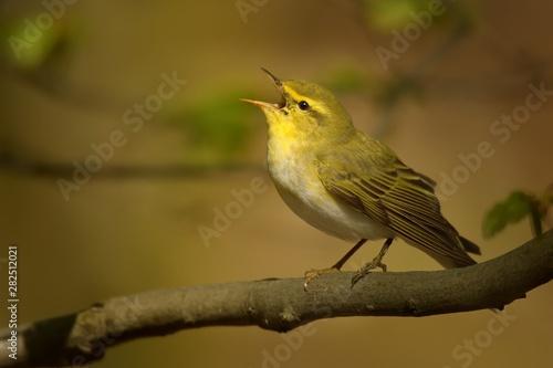 Fototapeta Wood Warbler - Phylloscopus sibilatrix is perching on the branch