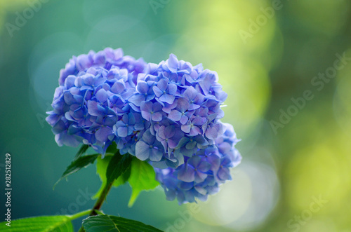 Canvastavla blue hydrangea flowers close up