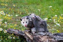 Opossum Or Possum Mother With ...