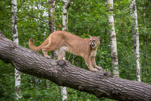 Snarling Mountain Lion Climbin...
