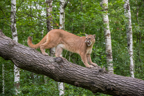 Snarling Mountain Lion climbing Down a Leaning Tree