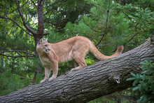 Mountain Lion Climbing Down A Leaning Tree, Looking Back Over Shoulder