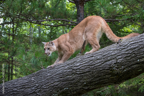 Spoed Fotobehang Puma Mountain Lion Crouched on Descent down a Leaning Tree