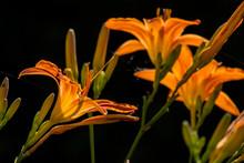 Vibrant Orange Asian Lilies On...