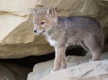 Coyote Den In The Wild