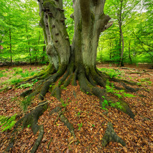 Moss Covered Roots Of Mighty O...