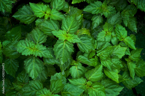 Fotografía  Close up of healthy green Pogostemon cablin patchouli plant eaves wet from rain or dew, medicinal plant used in aromatherapy