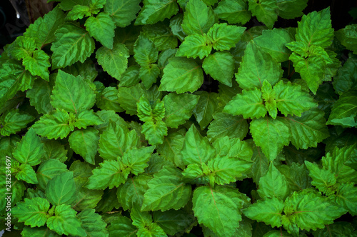 Close up of lush vibrant green Pogostemon cablin patchouli plant eaves wet from rain or dew, medicinal plant used in aromatherapy Wallpaper Mural