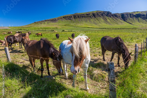 Herd of iceland ponys on green meadow in summer 2017 Poster Mural XXL