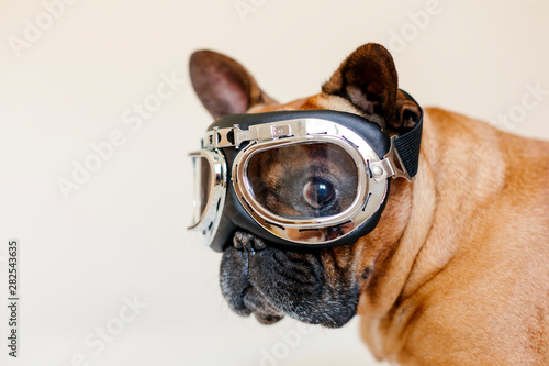 Obraz na plátně funny brown french bull dog on bed wearing aviator goggles
