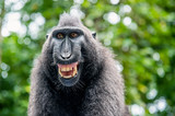 Fototapeta Zwierzęta - Celebes crested macaque with open mouth. Close up portrait on the green natural background. Crested black macaque, Sulawesi crested macaque, or black ape. Natural habitat. Sulawesi Island. Indonesia