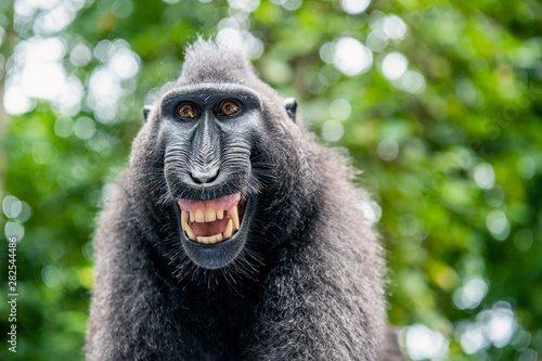 Foto op Aluminium Aap Celebes crested macaque with open mouth. Close up portrait on the green natural background. Crested black macaque, Sulawesi crested macaque, or black ape. Natural habitat. Sulawesi Island. Indonesia