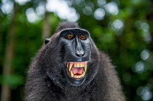 Celebes Crested Macaque With O...