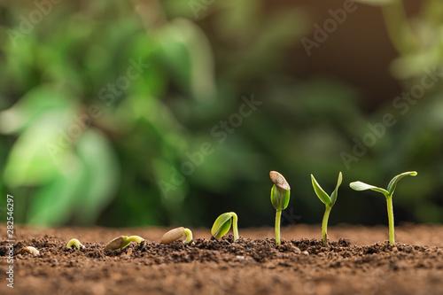 Fototapeta Little green seedlings growing in fertile soil against blurred background. Space for text obraz