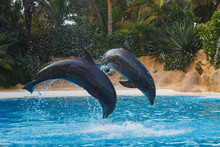 Two Jumping Dolphins In Blue W...