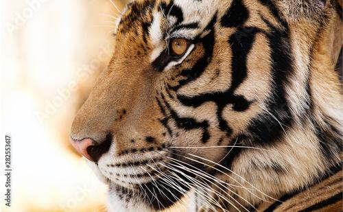 Canvas portrait of a tiger
