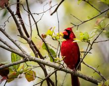 Male Northern Cardinal On Tree