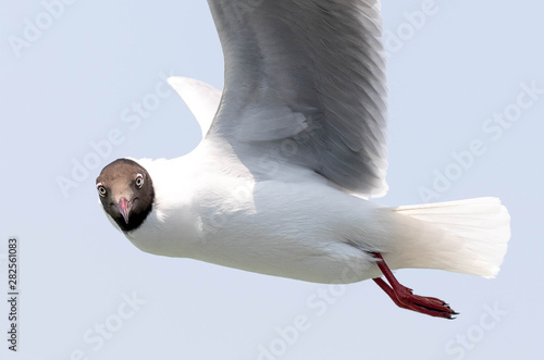 Photo  The black-headed gull is a small gull that breeds in much of Europe and Asia, and also in coastal eastern Canada
