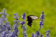 サルビアの蜜を吸う雌のジャコウアゲハ