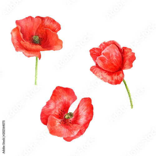 watercolor drawing red poppy flowers - 282564075